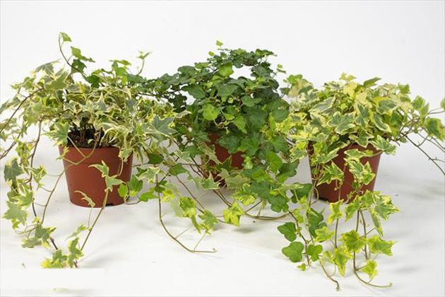 15 loại cây xanh có khả năng thải độc trong nhà